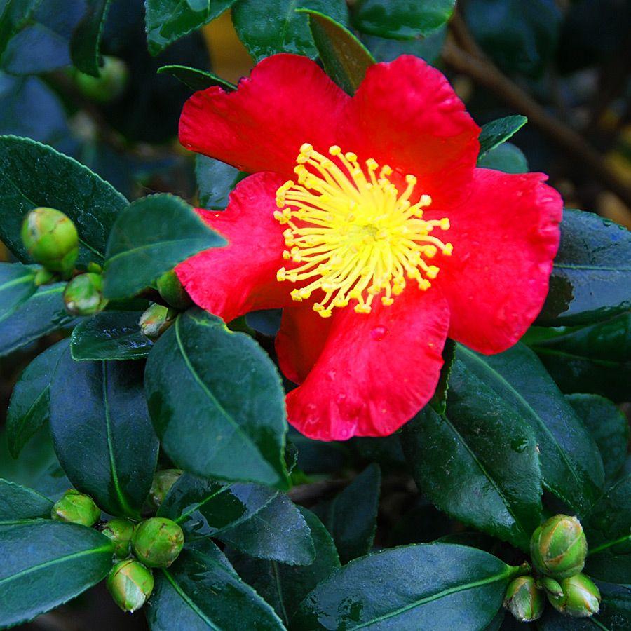Camellia sasanqua yuletide camellia bgl pinterest - Camelia planta ...