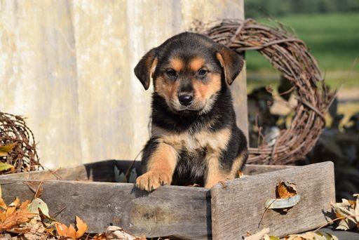 German Shepherd Dog Rottweiler Mix Puppy For Sale In