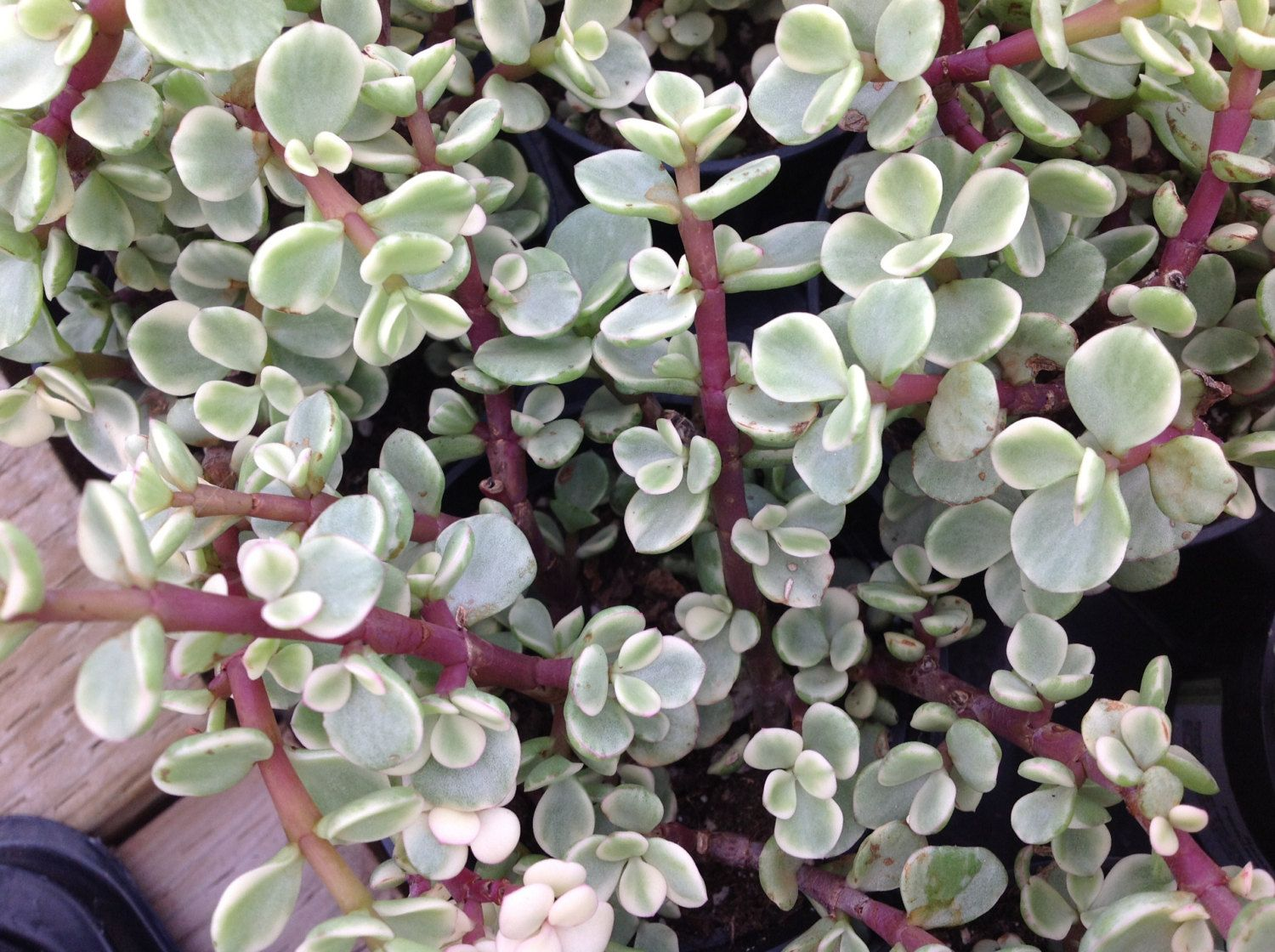 Elephant Ears Succulents