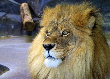 Image result for Como Park Zoo lions