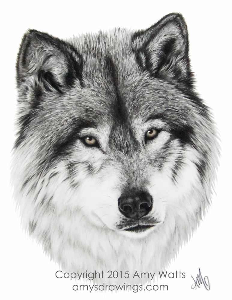 "11""x14"" Giclee Print Wolf Charcoal Drawing by Realism ..."