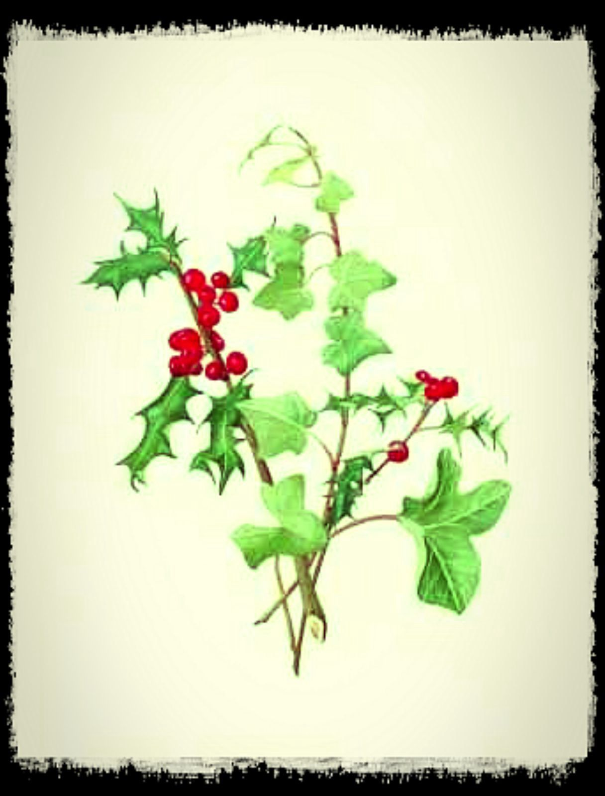 Why is holly a traditional christmas decoration -  The Holly And The Ivy Is An English Traditional Christmas Carol Holly And