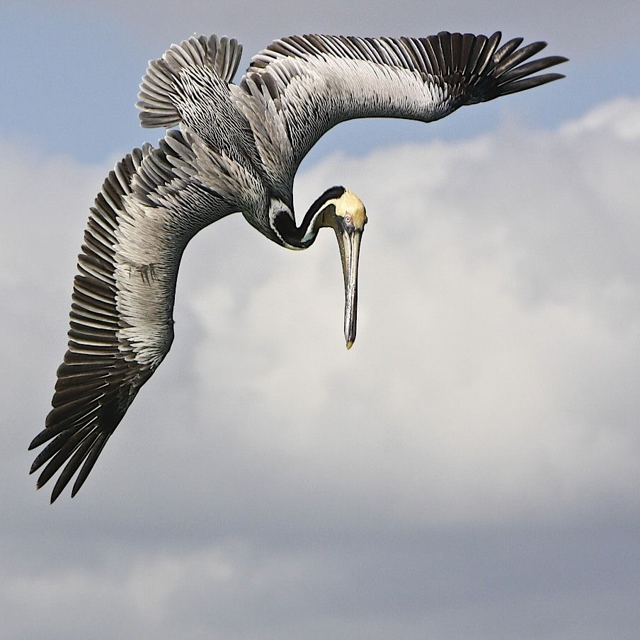 500px pelican dive by steve leach tattoos u0026 art pinterest