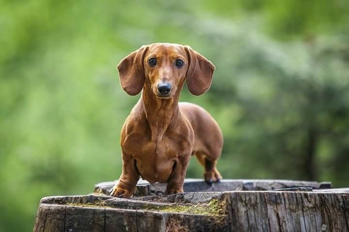 Pin By Riana Olivier On Honde In 2020 Weiner Dog Dachshund Dogs