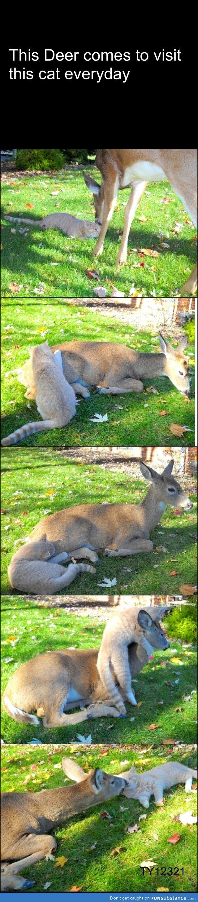 Deer visits cat every day.