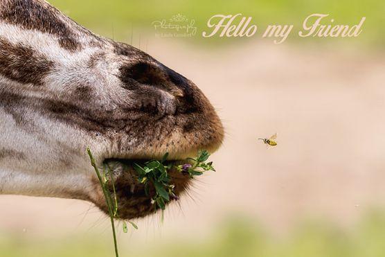 Giraffe trifft Biene