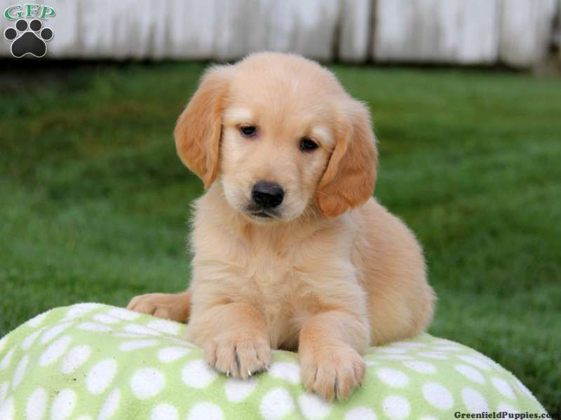 Thunder Golden Retriever Puppy For Sale In Gap Pa Cute Little