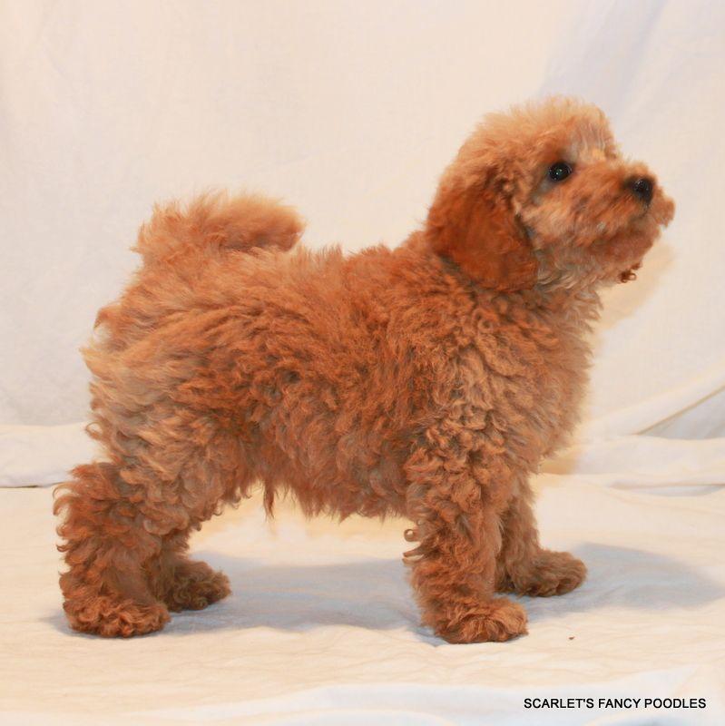 Apricot poodle puppy akc poodles scarlets fancy poodles