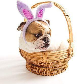 Baggy Bulldogs Bulldog Baby Dogs Easter Pets