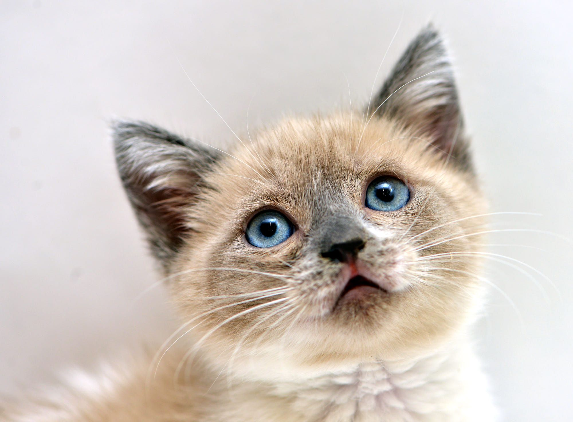An adorable Lilac Point Siamese kitten, about 5 weeks old ...