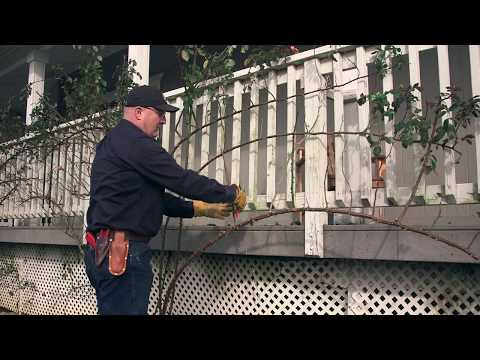 Pruning And Training Your Climbing Rose Youtube Climbing Roses Pruning Climbing Roses Rose Garden Landscape