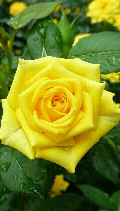 Yellow rose of texas deep in the of texas pinterest flowers yellow rose of texas mightylinksfo