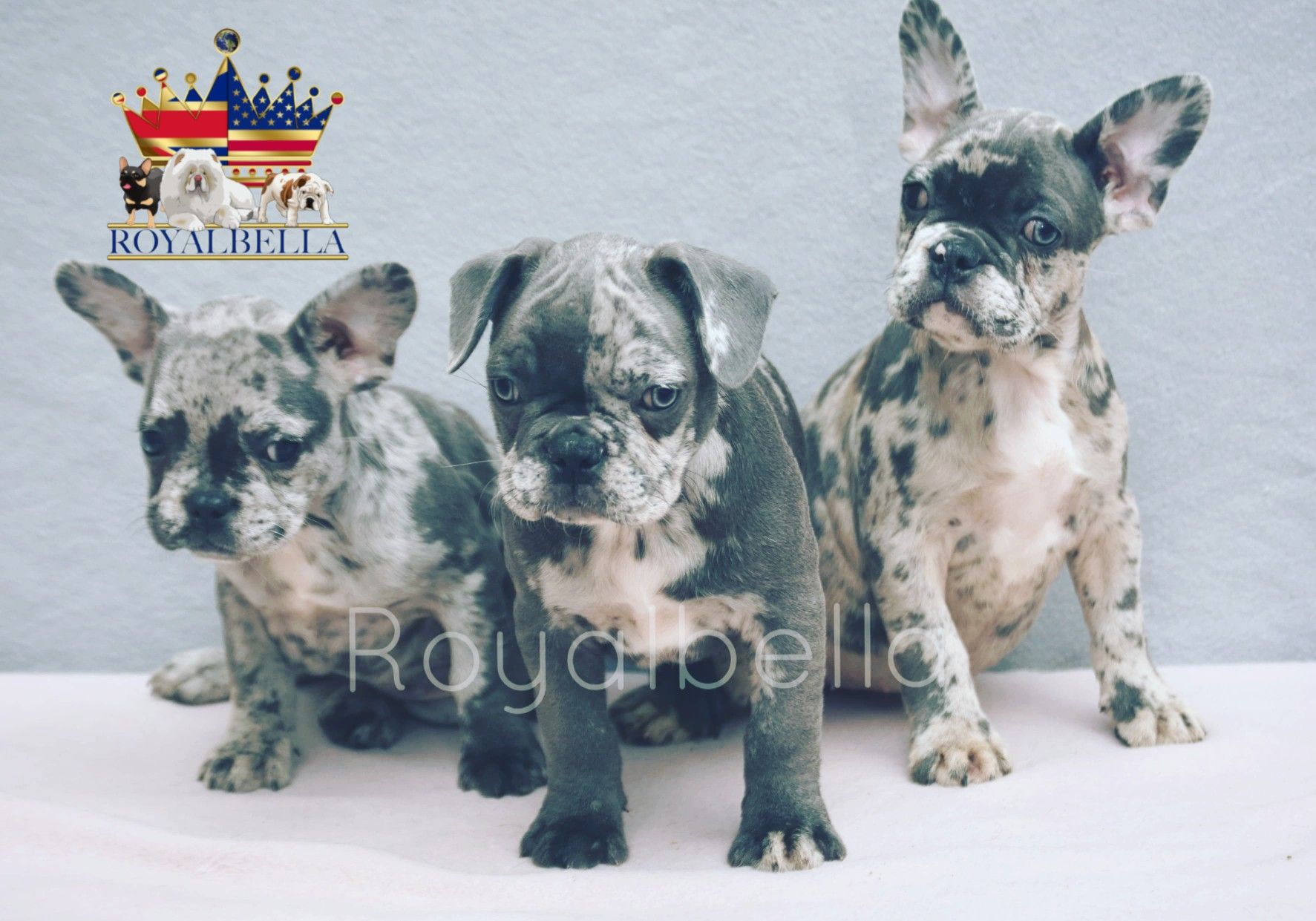 Three Beautiful Merle French Bulldog Puppies Royalbella Royalbellacouk Bulldogsbyroyalbellacom Cute Healthy Luxury Dog