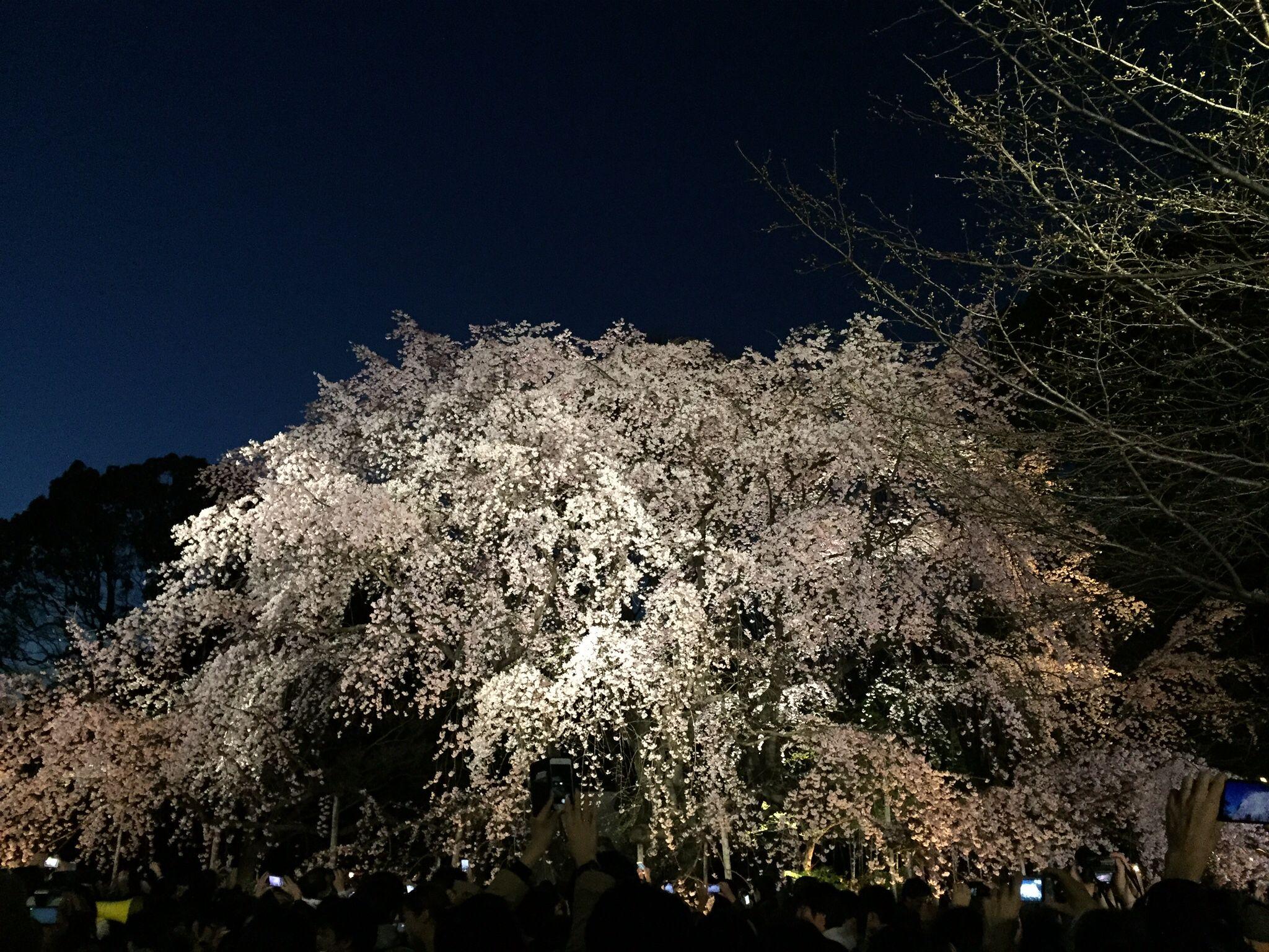 weeping cherry Rikugien-Japan