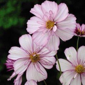 Stolt kavaler,'Sweet Sixteen' danner svagt rosa, let flæsede blomster, der er ca. 6 cm i diameter og hvide blomster og har fine, bregneagtige blade. Den er fabelagtig i buketter. Pluk blomsterne, når knopperne er lige ved at springe ud, så holder de længere. Engelsk navn: Cosmos Sweet Sixteen Højde: ca. 90 cm. Fuld sol. Sås på voksestedet fra slut april, eller forspires i marts/april for ekstra tidlig blomstring.