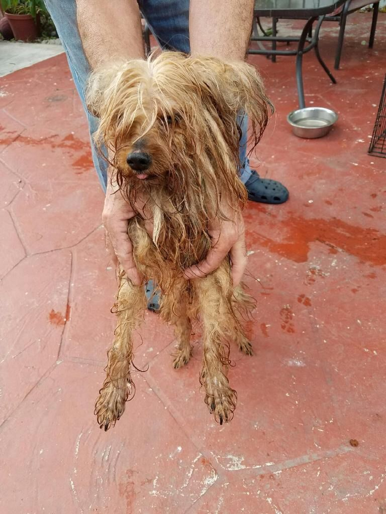 Found Dog Yorkshire Terrier Yorkie Miami Lakes Fl United