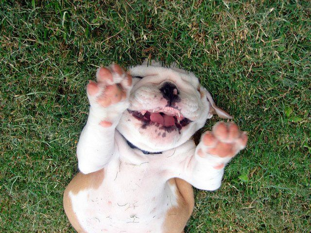 English Bulldog Affordable Teacup Puppies For Sale In Ohio