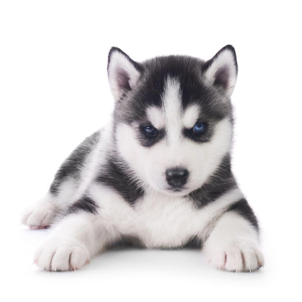 Perrito Malo Husky Dog Names Husky Puppy Siberian Husky Names