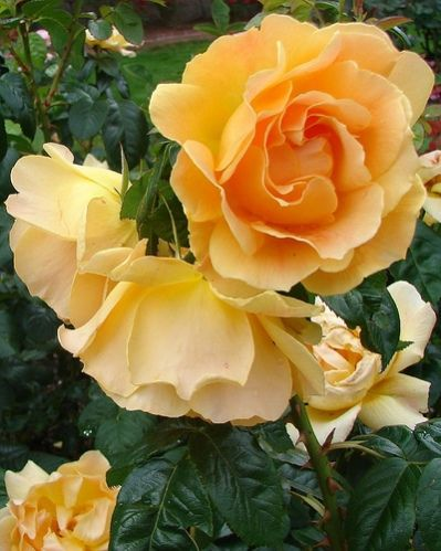 Easy Going Rose Yellow Floribunda Rose Bush Type Bloom Where Youre Planted Rose Bloom
