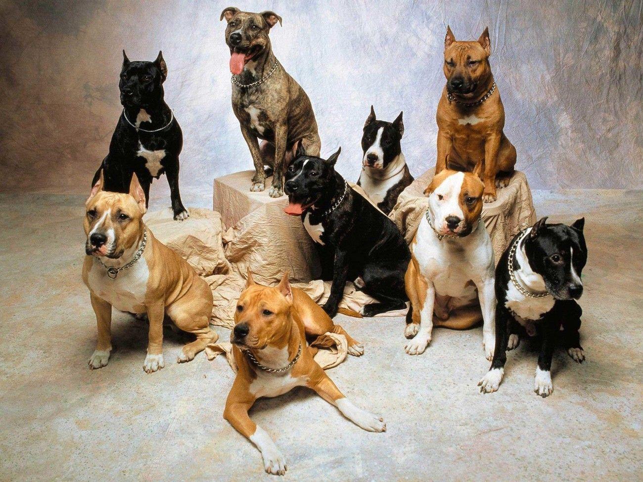 Pitbull American Staffordshire Terrier Wallpaper Pitbull Dog Breed Pitbull Dog Australian Dog Breeds