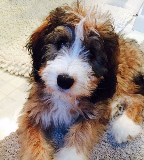 Bernedoodle Puppy By Adorable Doodles Bernedoodle Puppy