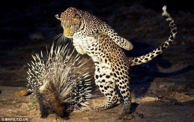 Foto Macan Tutul Mau Makan Landak Wisbenbae Macan Tutul