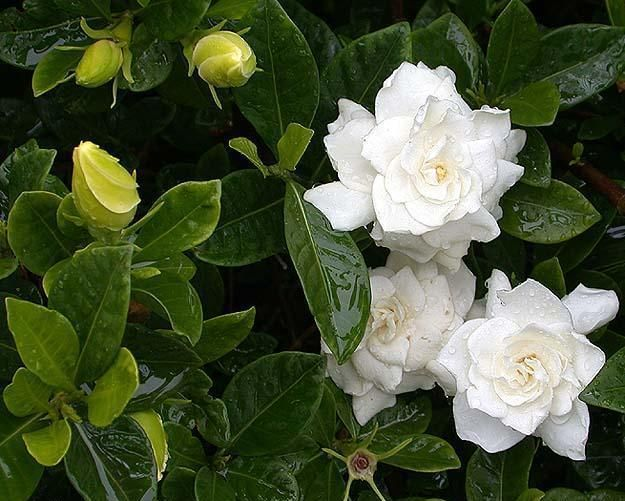 Gandharaj Gardenia Cape Jasmine Gardenia Jasminoides Fragrant Flowers Indoor Flowering Plants Tropical Flower Plants