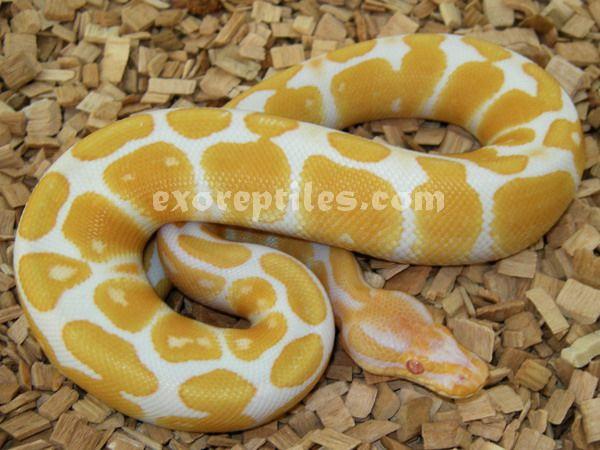 Python regius (Albino Ball Python) HIGH CONTRAST!! | Beading