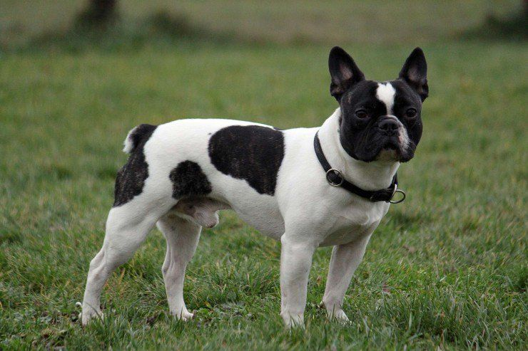 French Bulldog Dog Breed Facts Highlights Buying Advice
