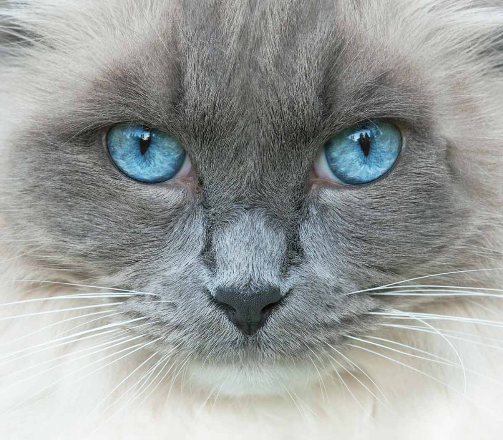 Cat Eye Colors An Amazing Range Of Shades In 2020 Cat Eye Colors Cat With Blue Eyes Tapetum Lucidum