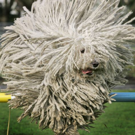 Hungarian Puli Sheep Dog Fee Jumps Over A Hurdle During A Preview For A Pedigree Dog Show Photographic Print Allposters Com Komondor Dog Puli Dog Mop Dog