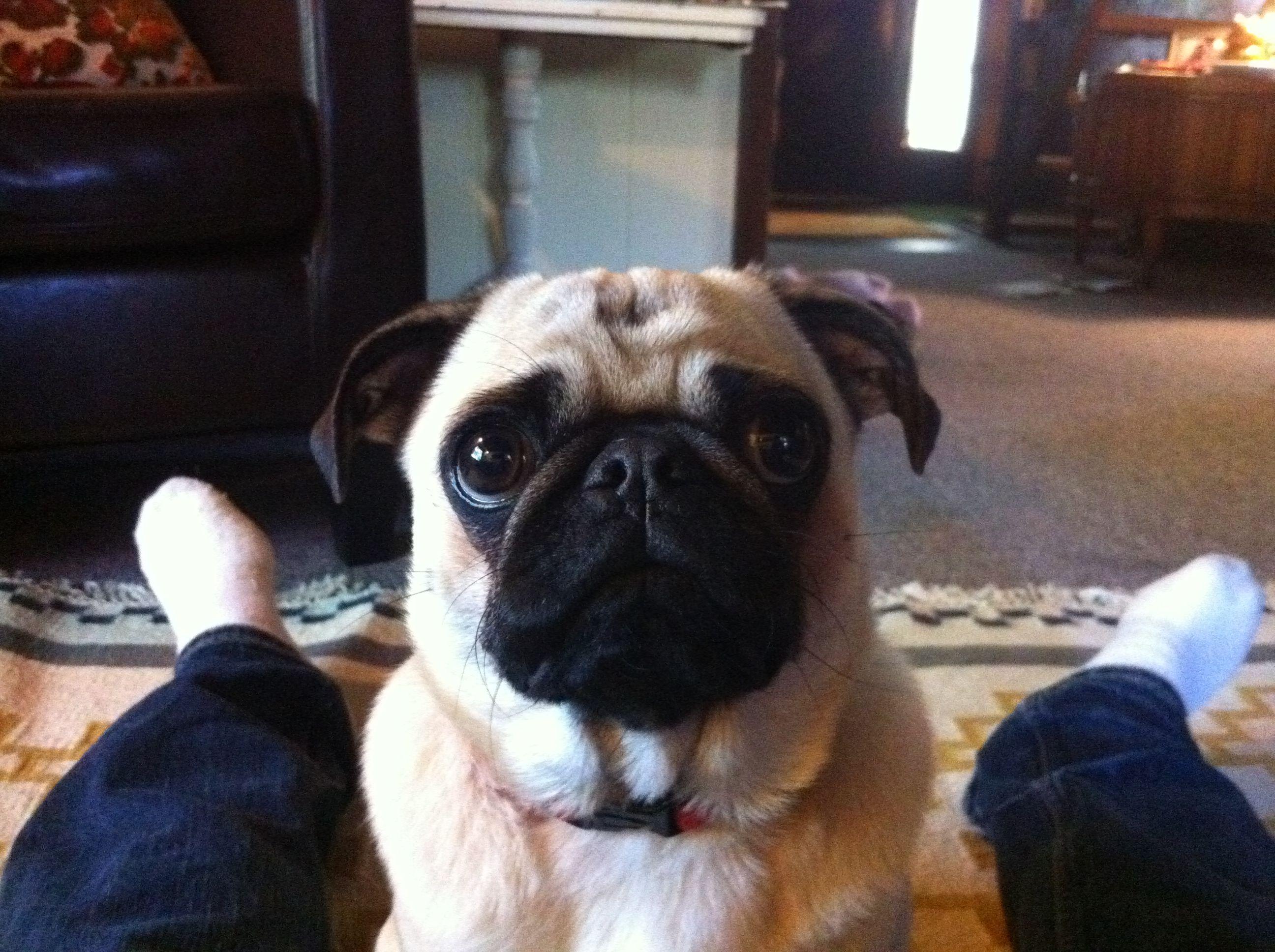 Best Looking Pug Ever Pug Pugs Cute Animals Puppies