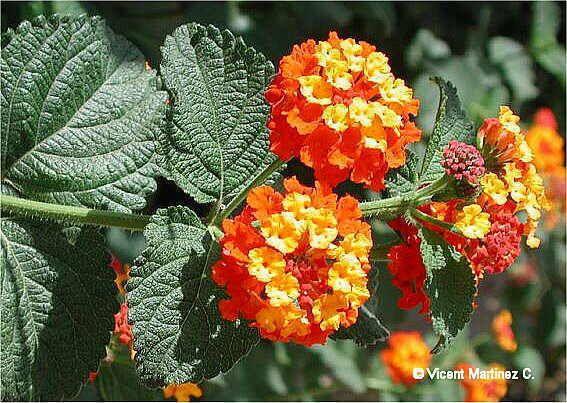 Cultivo De Lantana Camara Plantas Perennes Arbustos De Jardin Plantas