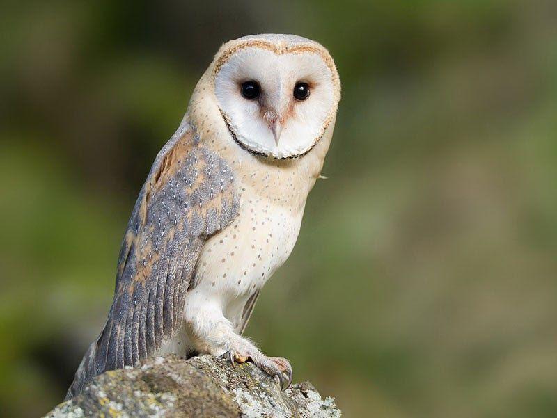 Cara Gambar Burung Hantu Mudah Nah Di Segment Kali Ini Saya Akan Bahas Bagaiman Cara Merawat Burung Hantu Denga Cara Menggambar Hewan Peliharaan Burung Hantu