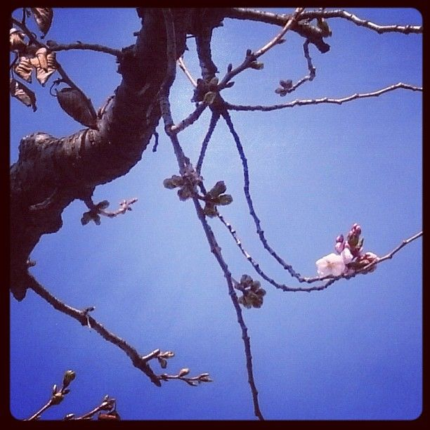 Cherry Blossoms in Tokyo...