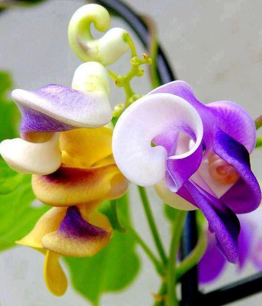 corkscrew vine, snail vine, snail creeper, or snail bean (vigna caracalla)
