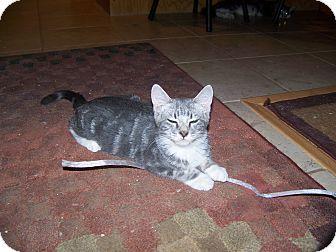 Fallon, NV - Domestic Shorthair. Meet Stanley a Kitten for Adoption.