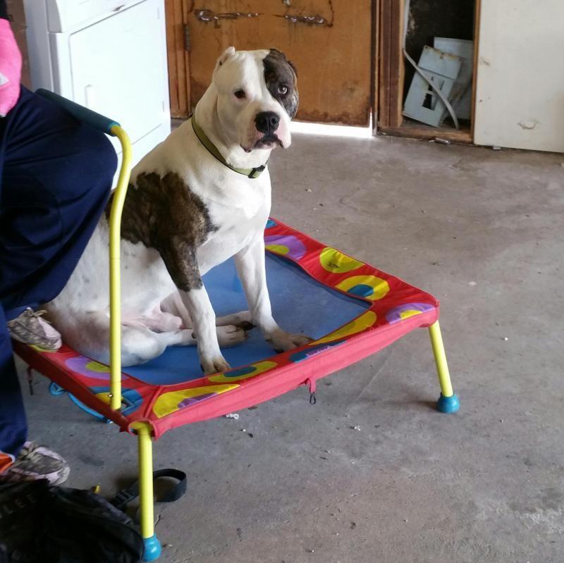 Adopt Chance On American Bulldog Mix Dogs Adoption