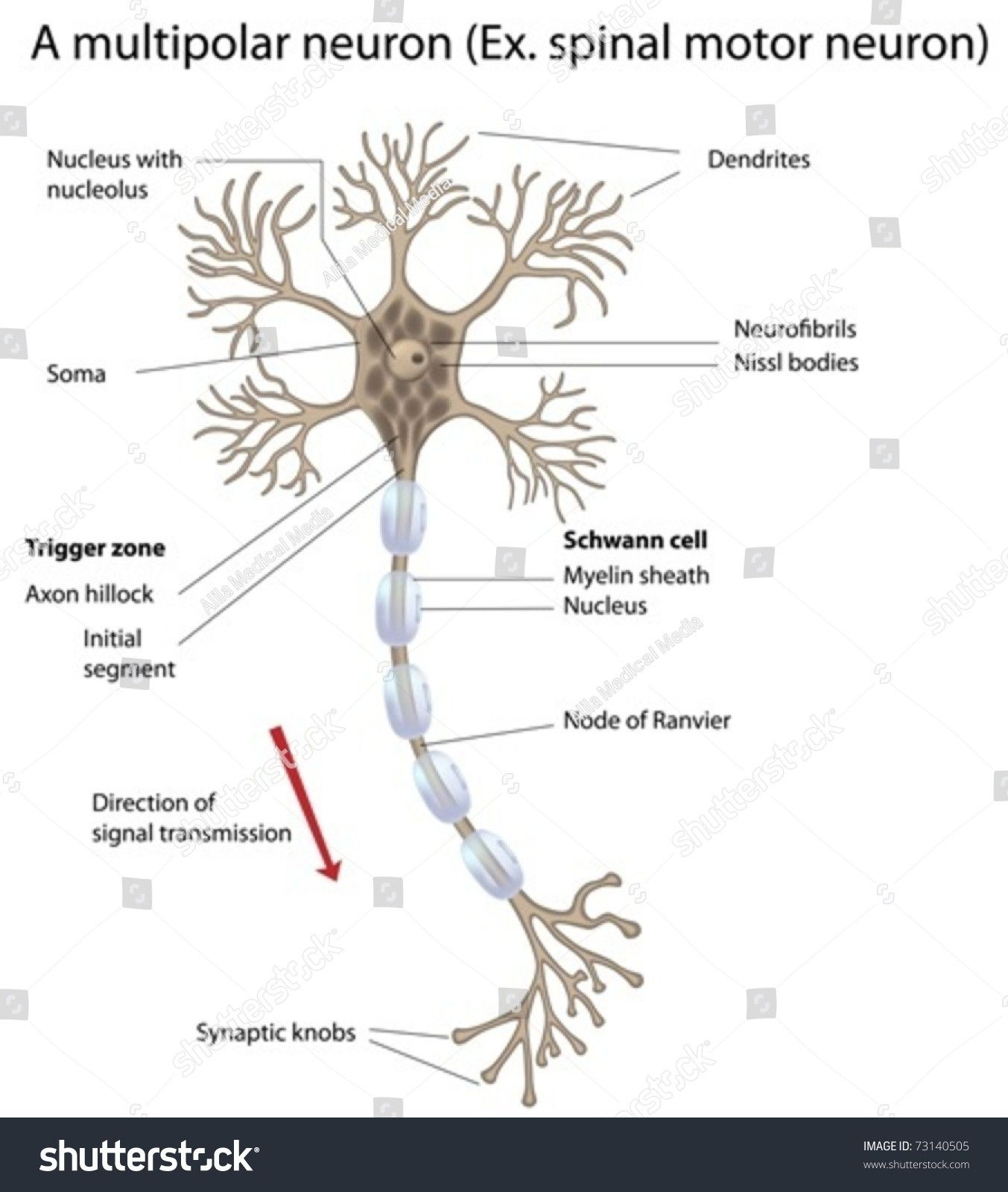 Picture Of A Neuron Labeled Luxury Motor Neuron Detailed