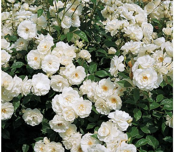 white garden rose bush