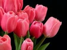 Hungary S National Flower Is The Tulip Flowers Pretty Flowers Tulips Images