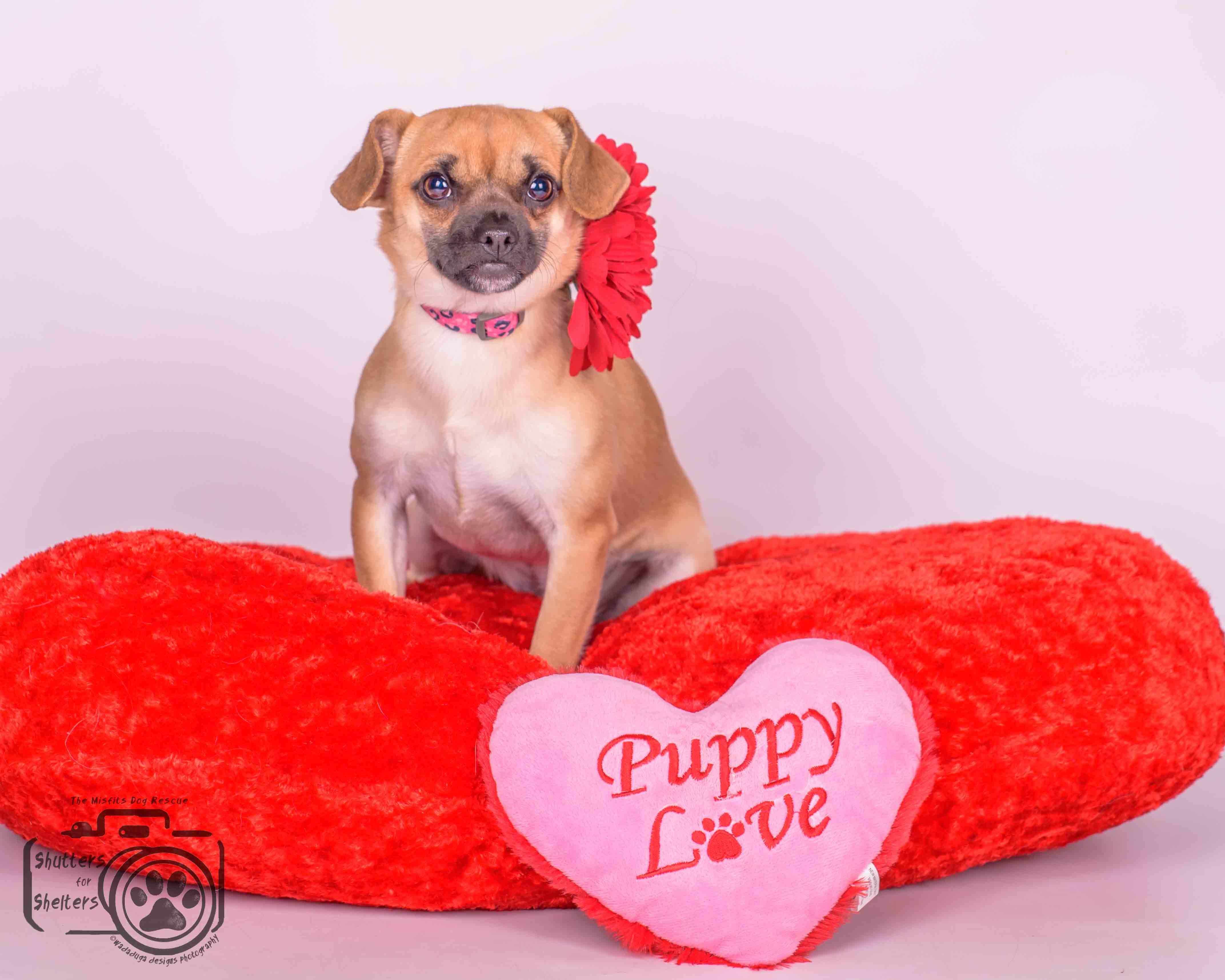 Chug dog for Adoption in Colorado Springs , CO. ADN453386