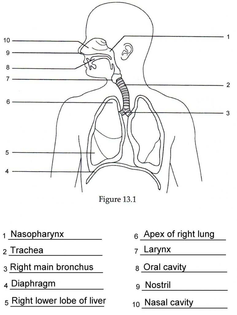 Human Anatomy Labeling Worksheets Respiratory Anatomy Labeling Quiz