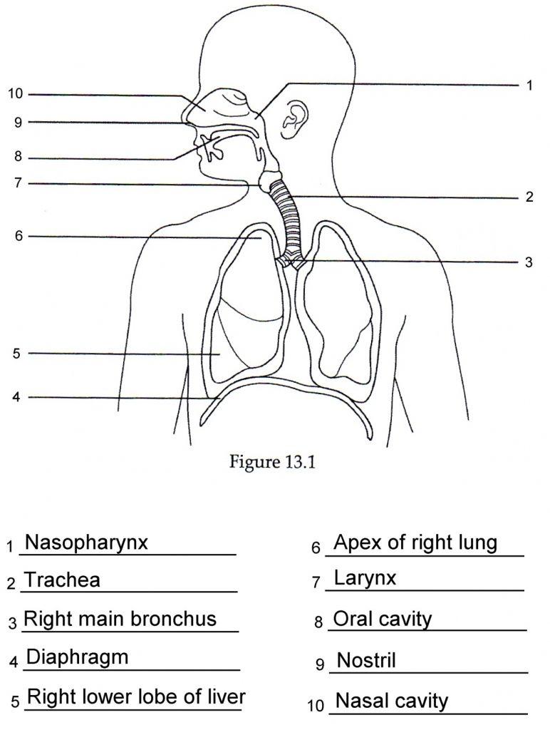 Human Anatomy Labeling Worksheets Respiratory Anatomy ...