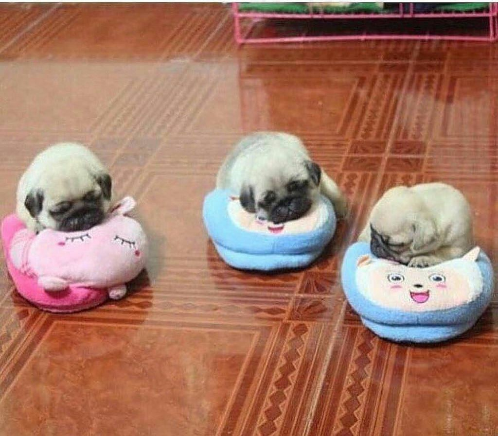 Puggiewoofs Repost Pugsloveronly Who Want Some Slippers