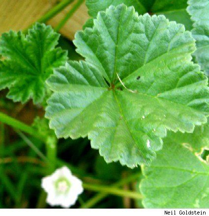 Common Mallow grows rampant in my yard Apparently it is very