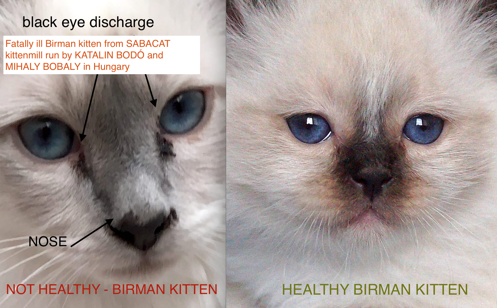 birman breed is very special one ️ Watch very well the