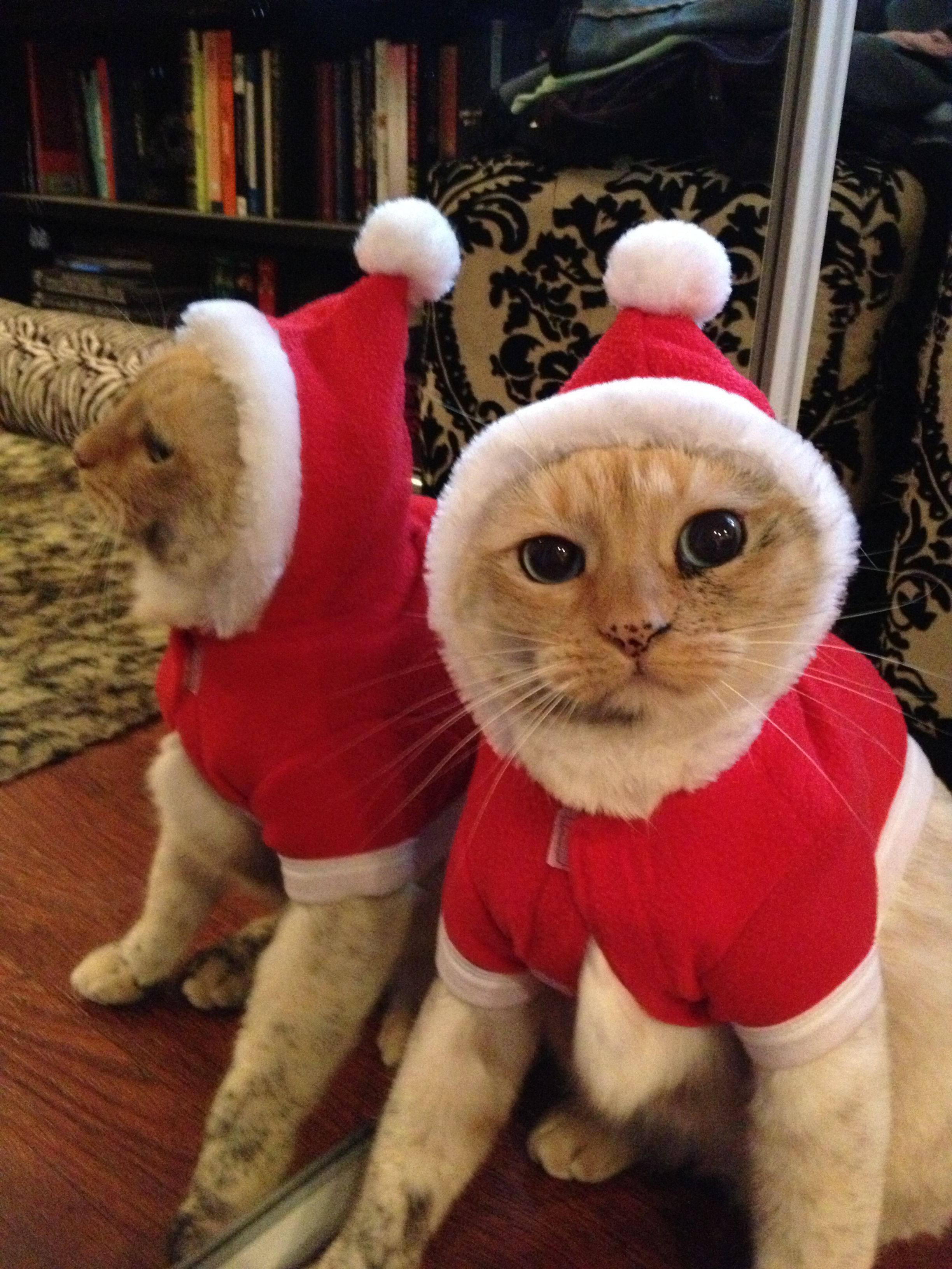 Cat in Christmas costume Christmas cats, Pet birds