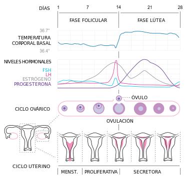 Resultado de imagen para ciclo menstrual