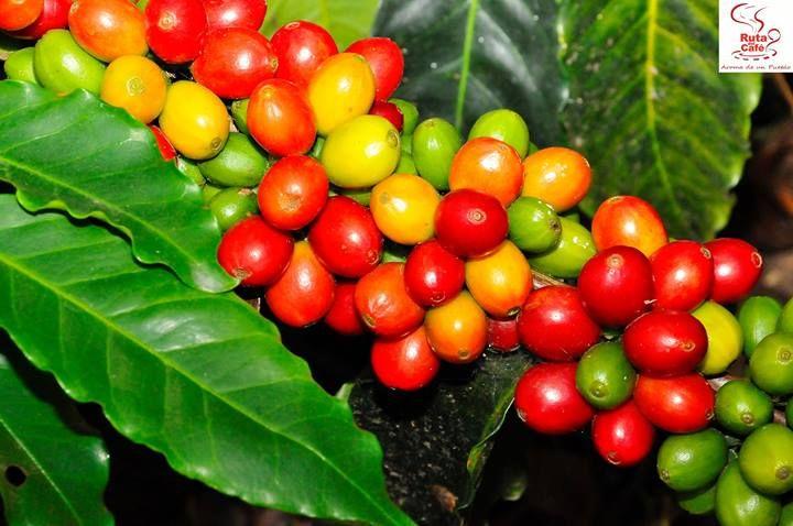 mata de café the best of isla del encanto puerto rico pinterest